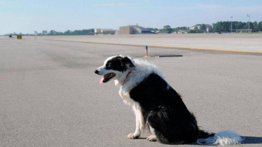 Máy bay phải bay chờ hạ cánh vì phát hiện chó chạy rông trong khu bay