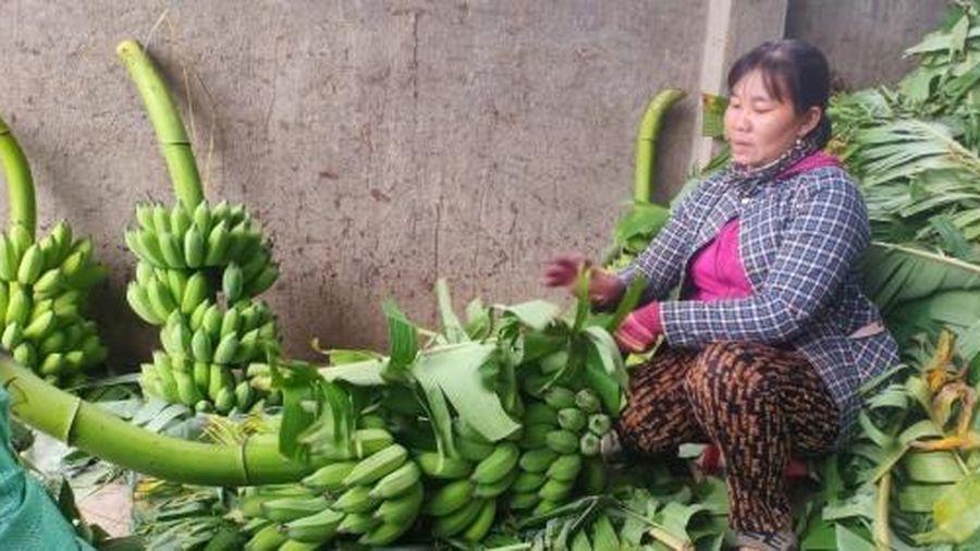 Chuối Tết Khánh Hòa mất mùa vì thiên tai
