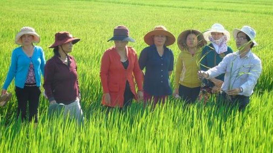 Lúa đông xuân Bình Định đối diện áp lực sâu, bệnh lớn