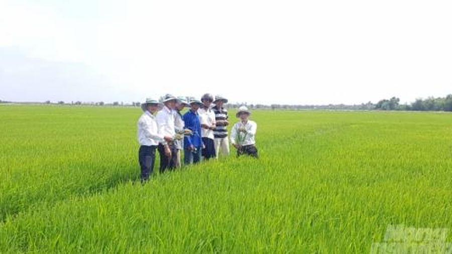 Ứng dụng vi sinh trong sản xuất lúa tại Bạc Liêu