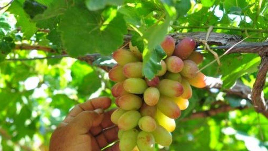 Ninh Thuận chú trọng phát triển nông nghiệp ứng dụng công nghệ cao