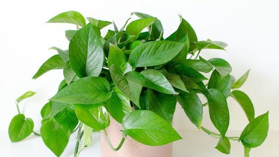 6 loại cây phong thủy nên trồng trong phòng ngủ giúp tăng tài vận, vượng khí