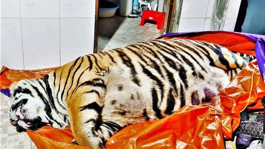 Phát hiện xác hổ nặng 250 kg trong nhà dân