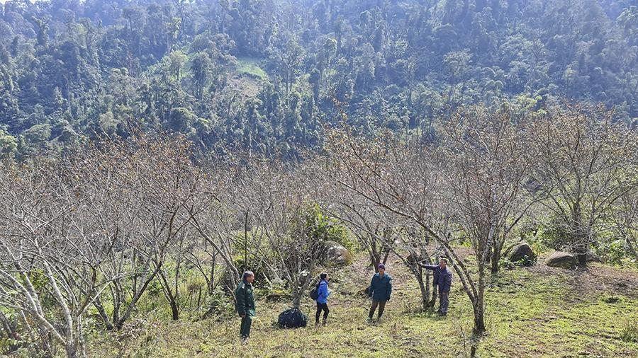 Nghệ An: Thu hàng trăm triệu đồng nhờ trồng đào rừng phục vụ Tết