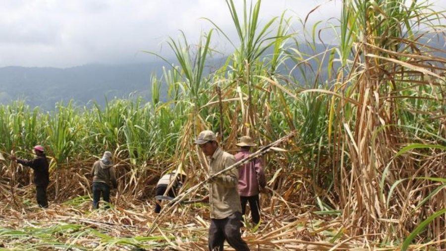 Giá mía nguyên liệu tăng cao, nông dân Đăk Lăk phấn khởi vì đã bắt đầu có lãi
