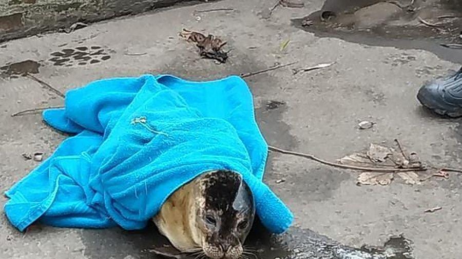 Mất bố mẹ, hải cẩu lầm lũi bơi hết hải trình 800 km
