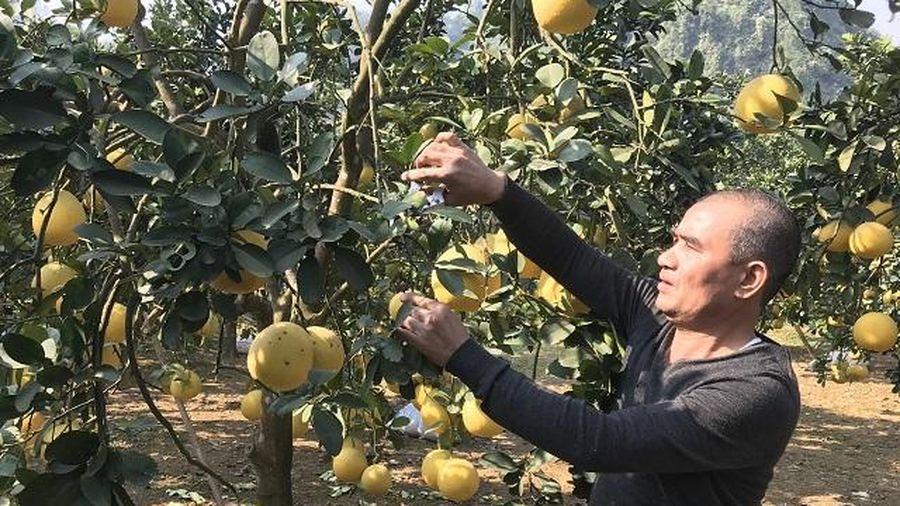 Phát triển cây ăn quả có múi: Kiểm soát chặt để giảm rủi ro