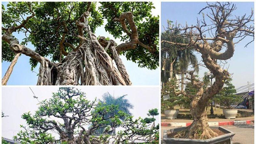 Dàn bonsai thế lạ xuống phố 'thách thức' đại gia Hà Nội