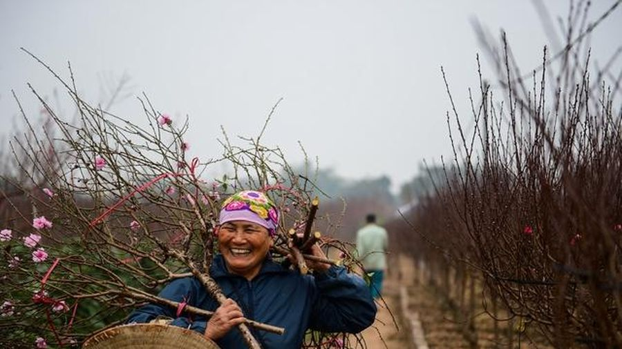 Thời tiết thuận lợi, đào Nhật Tân hứa hẹn một vụ bội thu