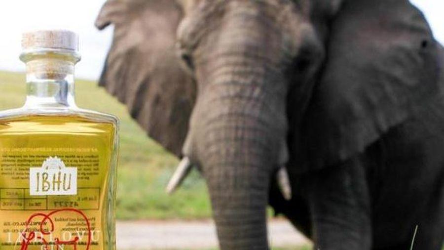 Thức uống hảo hạng làm từ... 'phân voi'