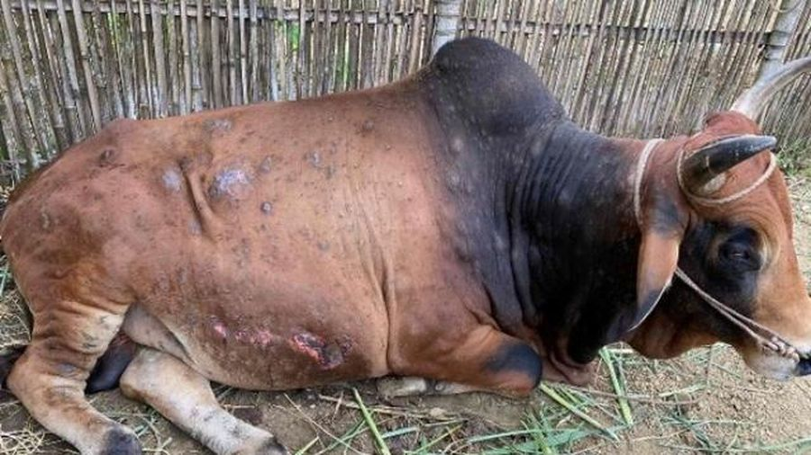 Hà Nội: Chủ động phòng và dập dịch bệnh viêm da nổi cục trên trâu, bò