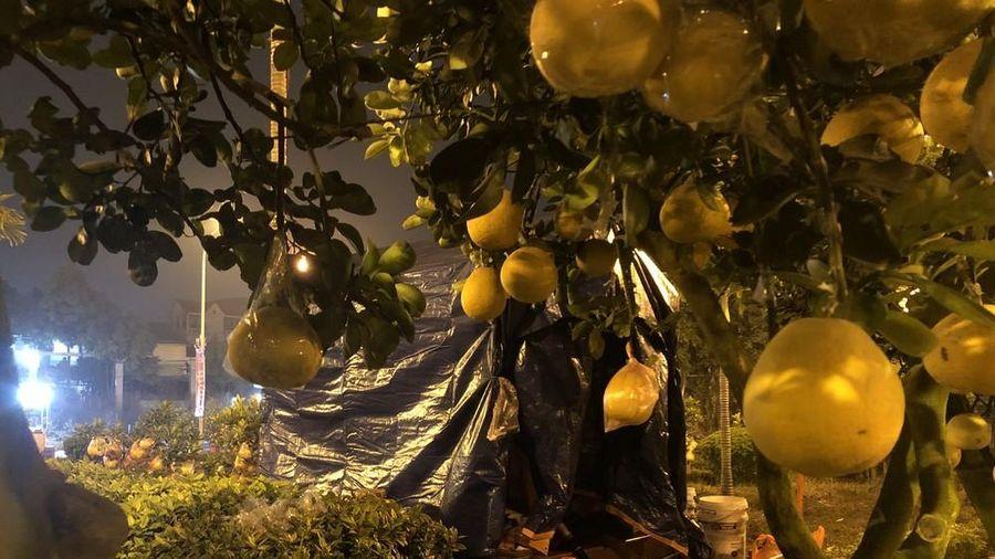 Dân buôn thức trắng đêm 'canh' đào, bưởi trên vỉa hè Hà Nội