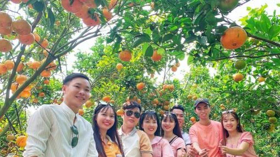 Mùa quýt hồng Lai Vung thu hút du khách