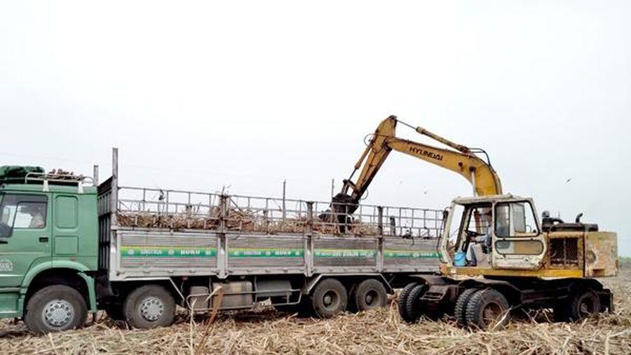 Nông dân trồng mía lao đao trước vụ thu hoạch mới