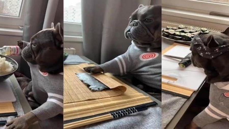 Chó bulldog trổ tài làm món sushi điệu nghệ như 'siêu đầu bếp'