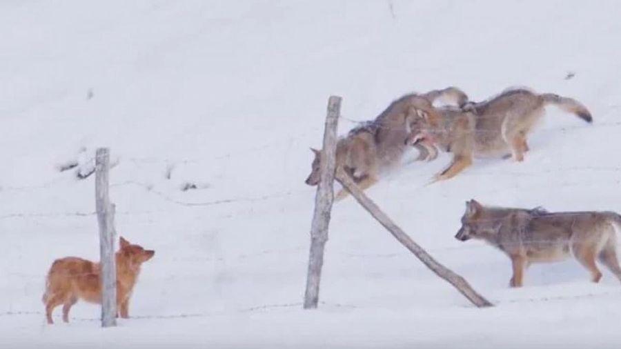 Chú chó trốn thoát khỏi 'vòng vây' của 3 con sói