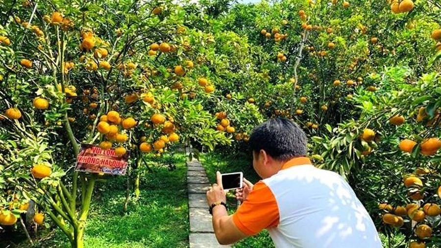 Vườn quýt hồng trĩu quả ở Lai Vung