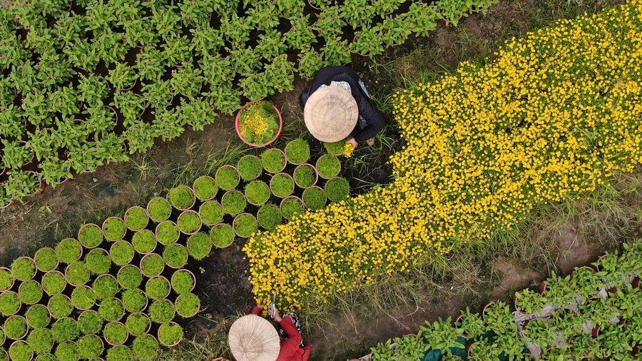 Ngại ế hàng do dịch Covid-19, nhà vườn thu hẹp diện tích trồng hoa Tết