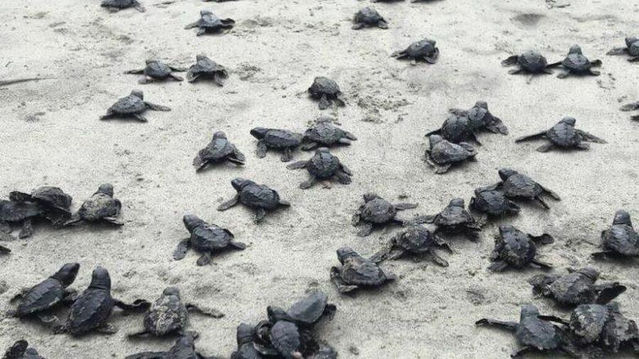 Rùa quý hiếm tại Ecuador 'bùng nổ dân số,' hơn 9.000 cá thể chào đời