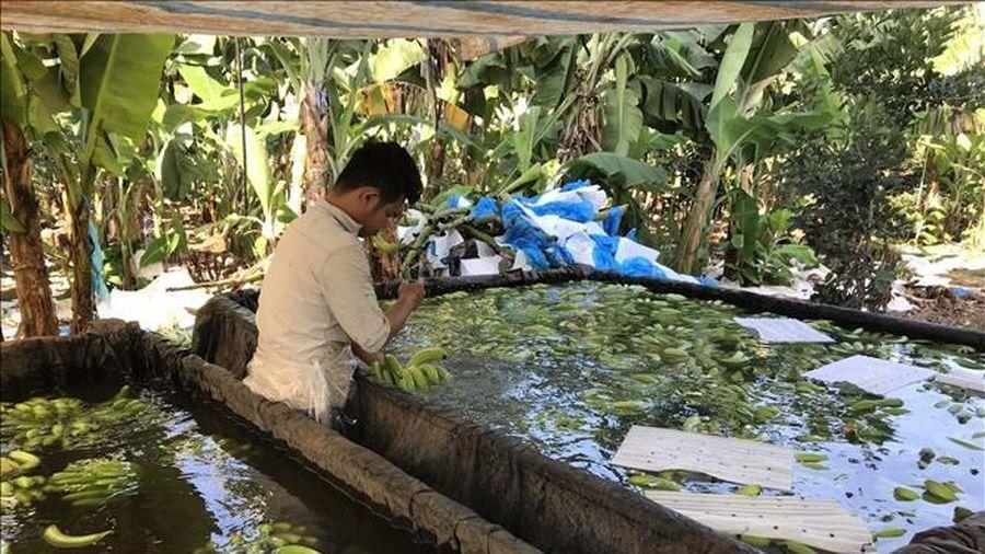 Phát hiện cơ sở chế biến chuối có dấu hiệu vi phạm an toàn thực phẩm