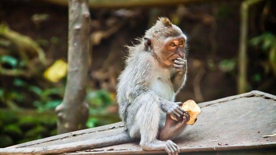 Những con khỉ tại đền Uluwatu, Bali có khả năng nhận biết những món đồ giá trị để lấy cắp