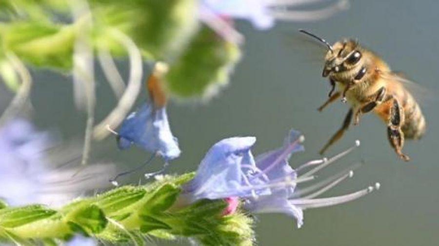Tranh cãi quyết định dùng thuốc trừ sâu diệt ong để cứu củ cải đường