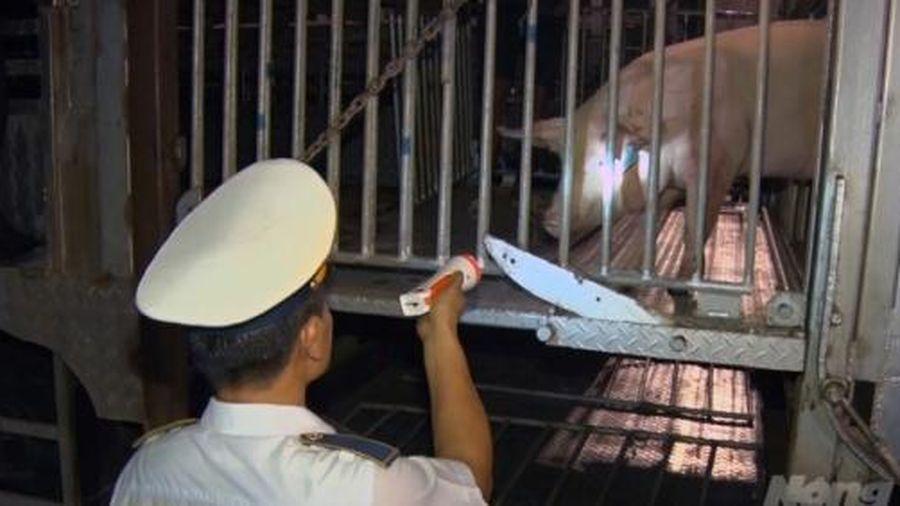 Lợn sống nhập khẩu từ Thái Lan tăng mạnh