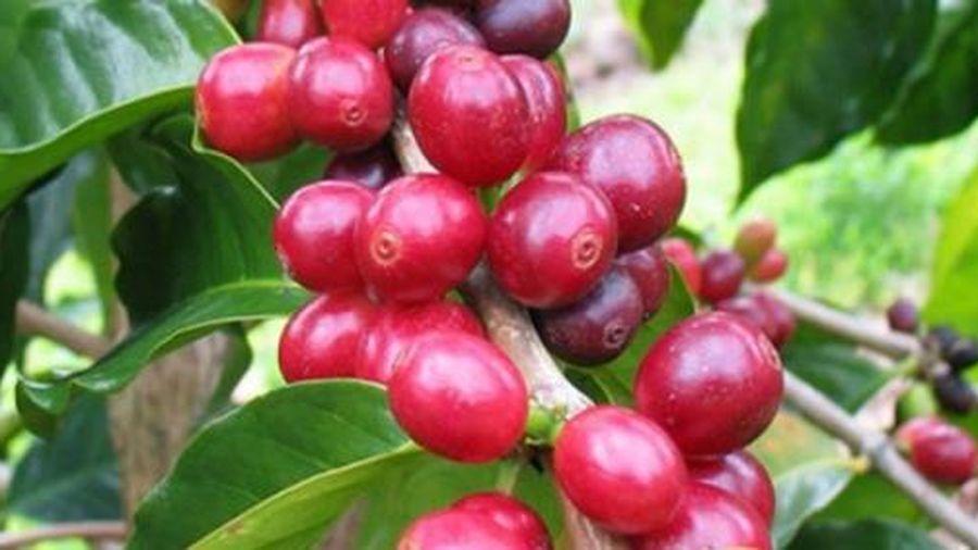 Giá cà phê hôm nay 25/1: Cà phê Robusta có tín hiệu tốt