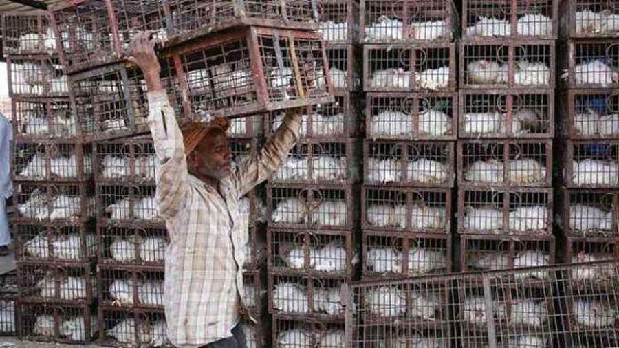 Ấn Độ: Bùng phát cúm gia cầm