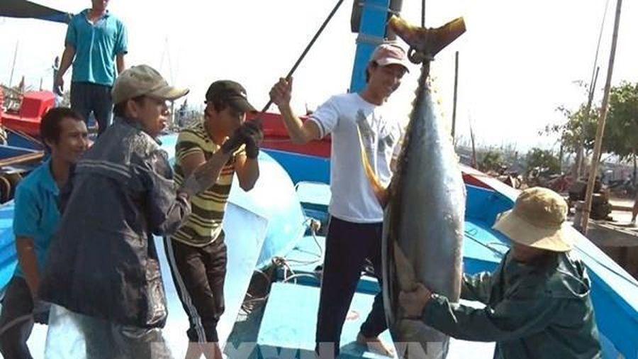 Những chuyến biển đầy khoang cá ngừ đại dương