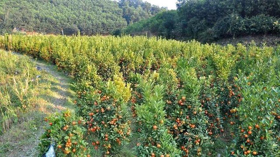 Hà Tĩnh: Mê mẩn vườn quất Tết nơi phố núi