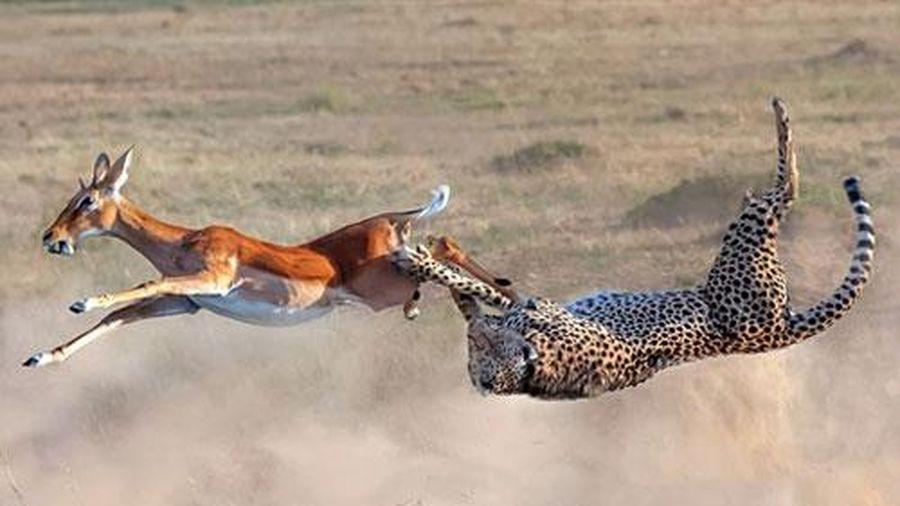 Bay ngược người săn mồi, báo đốm vẫn không quên điều này