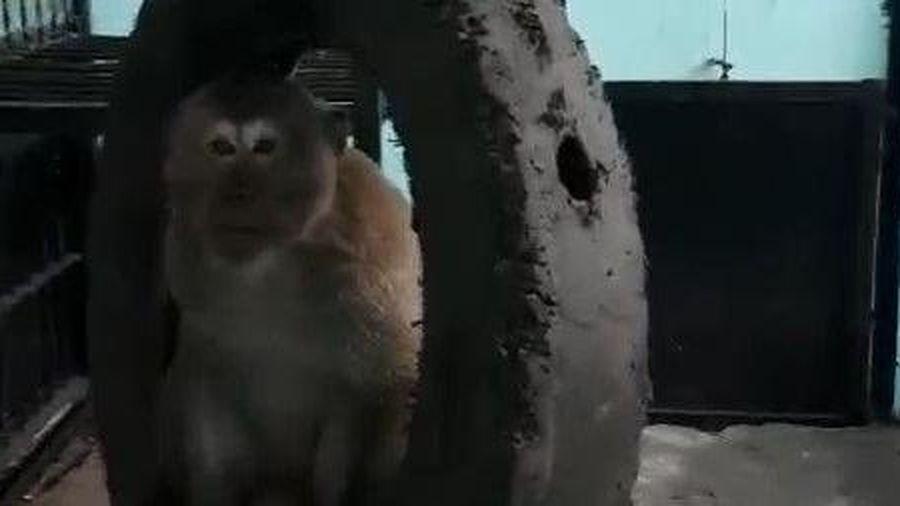 Di dời đàn khỉ 'tung hoành' giữa khu dân cư ở Sài Gòn