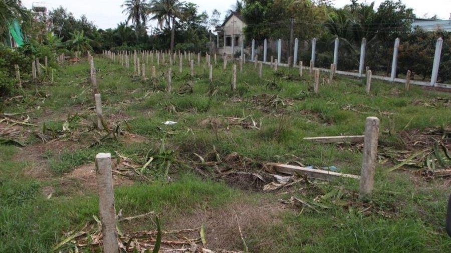 Long An: Nhiều nông dân phá bỏ vườn thanh long do thua lỗ