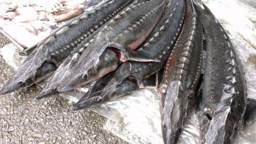 Phát hiện 8/11 mẫu cá tầm không rõ nguồn gốc đang lưu thông trên thị trường