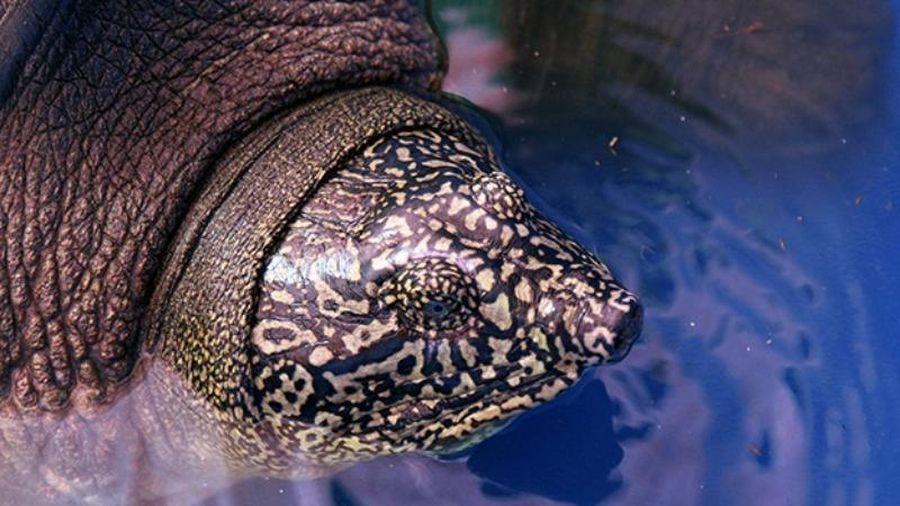 Báo nước ngoài nói gì về rùa Hồ Gươm ở Việt Nam?