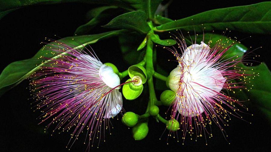 Vẻ đẹp quyến rũ lạ thường của hoa bàng vuông ở Trường Sa