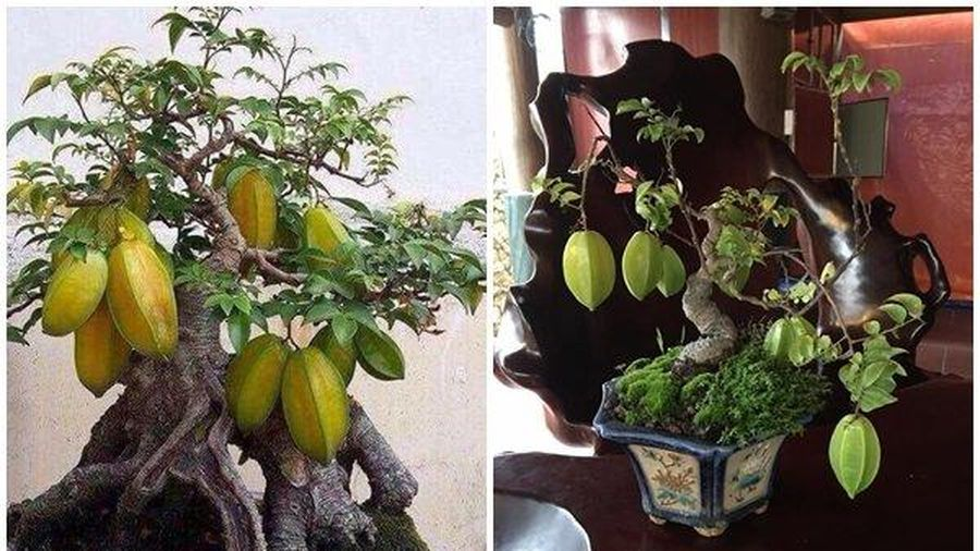 Cận cảnh những cây khế bonsai 'tý hon' thế siêu đẹp