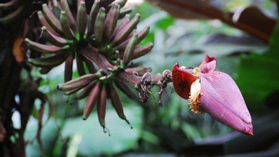 Những tác dụng tuyệt vời từ hoa chuối