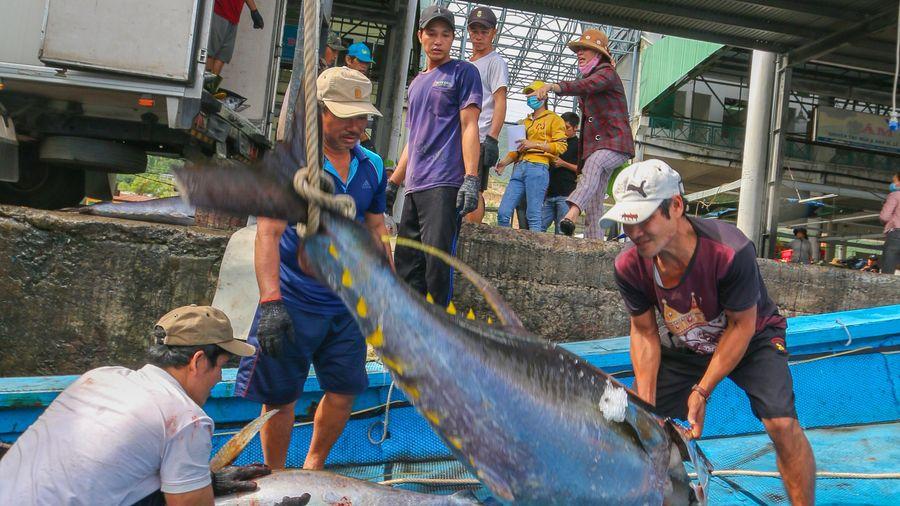 Ngư dân đánh bắt cá ngừ đại dương trúng đậm