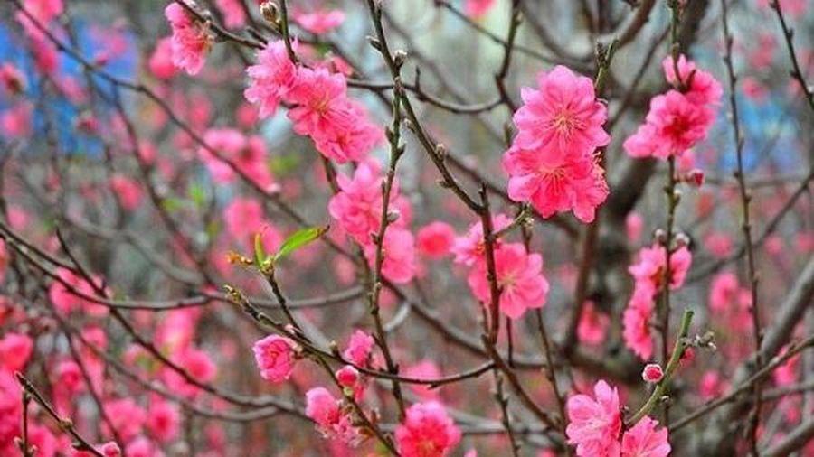Những loại hoa, cây cảnh đem tài lộc vào nhà dịp Tết Nguyên đán