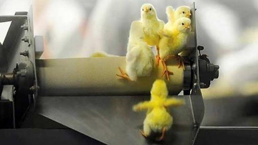 Đức sẽ trở thành quốc gia đầu tiên cấm giết gà con hàng loạt