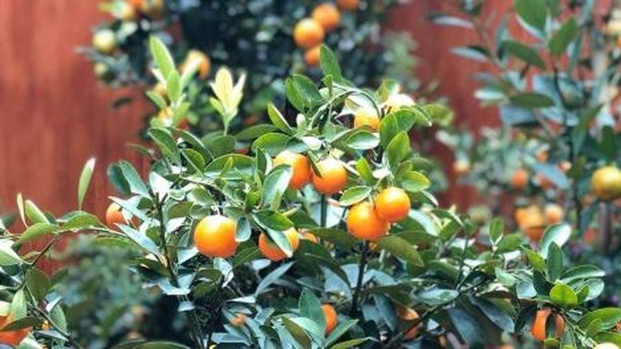 Tết Tân Sửu: Giá quất bonsai không biến động