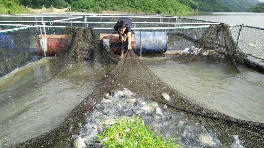 Đặc sản cá lồng ở Anh Sơn sẵn sàng phục vụ Tết