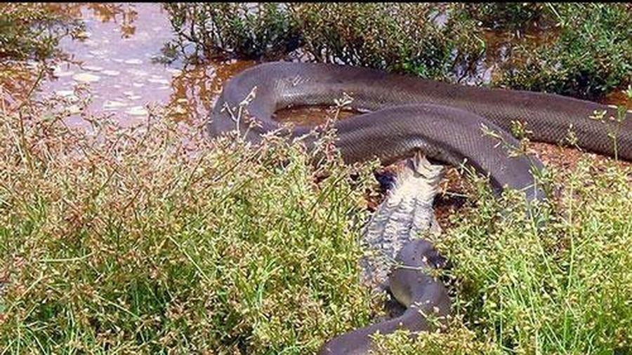 Cận cảnh cuộc chiến sinh tử giữa 'mãng xà' và cá sấu