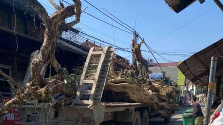Cao Bằng: Cây cổ thụ lên xe tải về phố