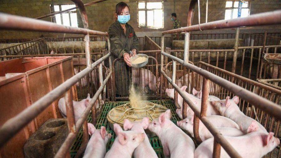 Doanh số smartphone giảm, Huawei đầu tư thêm vào ngành... chăn nuôi lợn