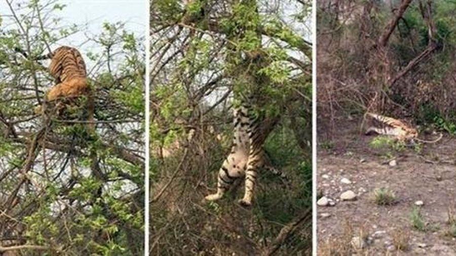 Hổ đói đánh liều leo lên cây bắt khỉ, không ngờ nhận cái kết 'muối mặt'