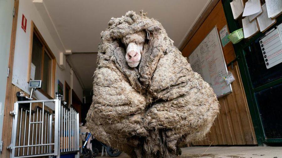 Giải cứu cừu hoang dã mang bộ lông nặng tới 35 kg