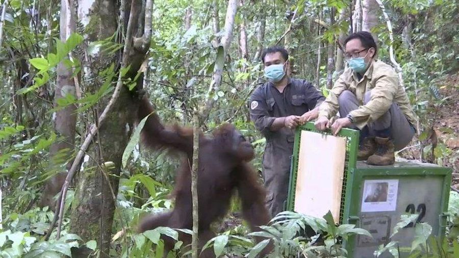 Indonesia nỗ lực bảo tồn loài đười ươi vùng Borneo trước dịch COVID-19